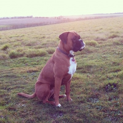 insta-jo:  A dog who got her own way… #boxer #boxerdog #ilovemyboxer  (at Papworth Everard)