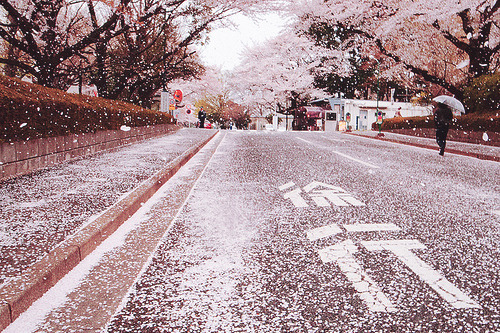 cinnahearts:  花吹雪 / A shower of blossoms (by funkgirldeluxe)