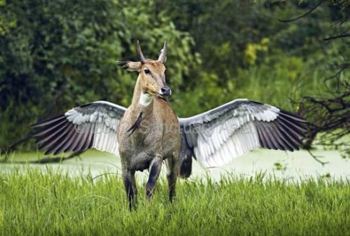 """Pegasus""- This stunning image of a nilgai and a Sarus Crane spreading its wings instantly brought to mind the winged horse of Greek legend. The nilgai is a commonly seen antelope in central and northern India, as well as parts of Pakistan and Nepal. It occupies open grasslands and the wetlands that are favoured by the Sarus Crane, the world's tallest flying bird with a wingspan that can exceed 2.5 m. The story of this image involves a nilgai that approached a Sarus Crane nest in which an egg had been laid. The photographer captured the image in Keoladeo National Park, Bharatpur, at the instant the bird was chasing the antelope away! Sanctuary Asia's Photography Awards 2012"