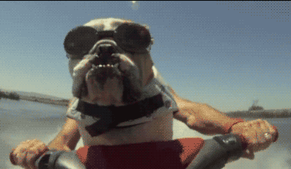 collegehumor:  Bulldog on a Jetski [Click to animate] BULLDOG ON A JETSKI!