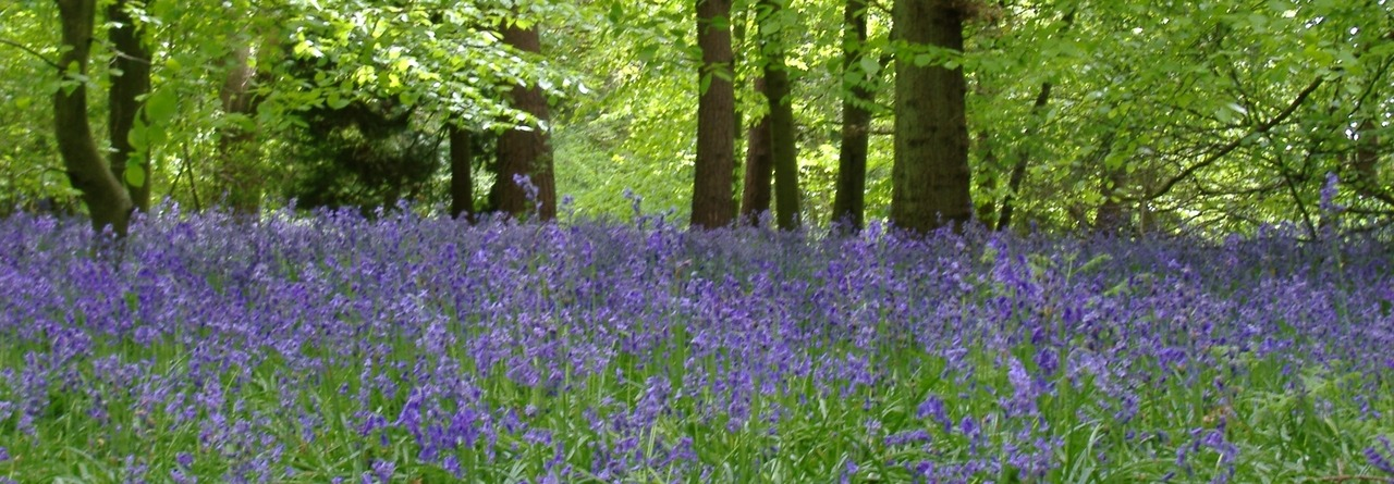bluebells, chantry woods, guildford, uk, april 2005