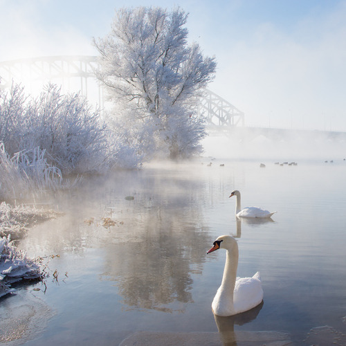 cygnesdelanuit:  Icy swan lake by Edwin van Nuil Photography on Flickr