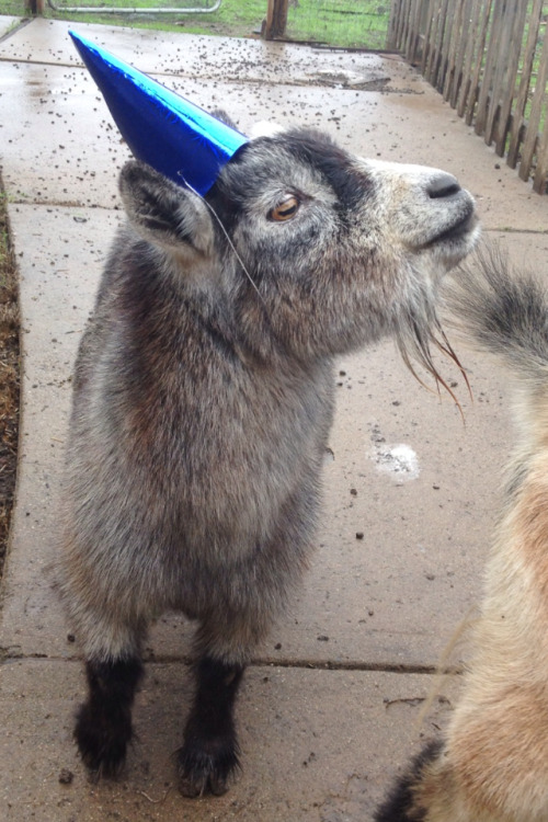 jaanneee:  Sally the Party Goat  Goat in a party hat!!!!!