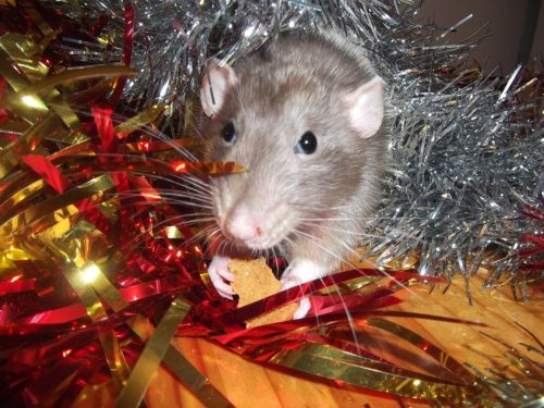 Spent the day taking Christmassy pictures of all my babies :D Here's Bowie, always the little gentleman and ever so wise. He wasn't so sure on the tinsel at first, though the arrival of ginger nuts soon warmed him to the festivities.