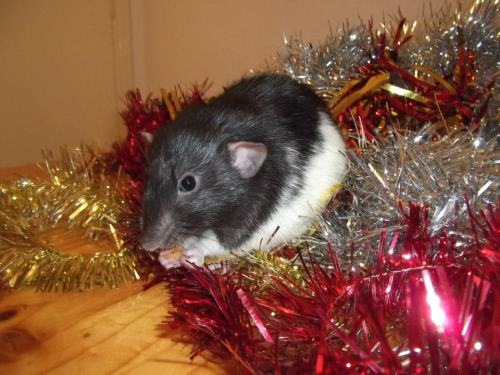 Spent the day taking Christmassy pictures of all my babies :D Some of you may remember Dexter. He was the hormonally aggressive ratty I rescued a few months back, who rather enjoyed a good nibble on the old fingers. These days, he's one great big softie. He even licks my nose! He has a wonderfully cheeky personality, and I love him :)