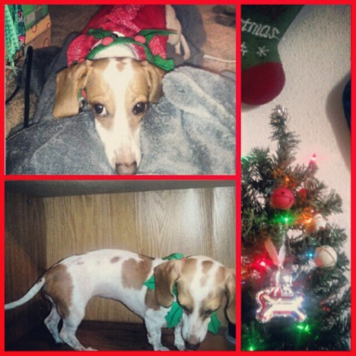 @scricketb found the Christmas decor… #elfonashelf #doxieonashelf #doxie #dachshund #christmas #uglysweater
