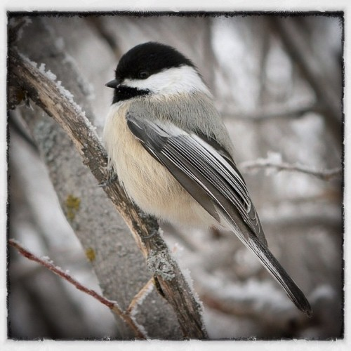 patricksk:  Chickadee in Fish Creek Park 1