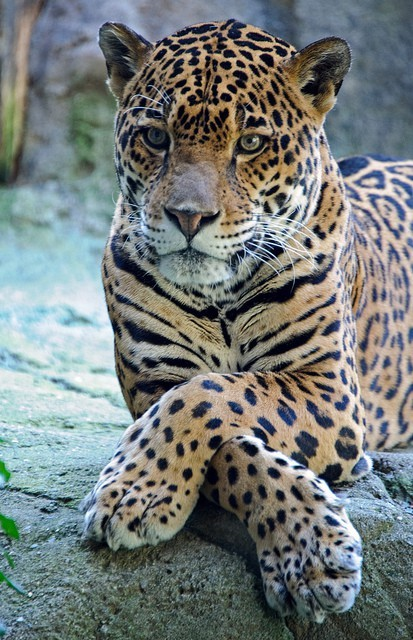 n earthlynation:  leopard by didi