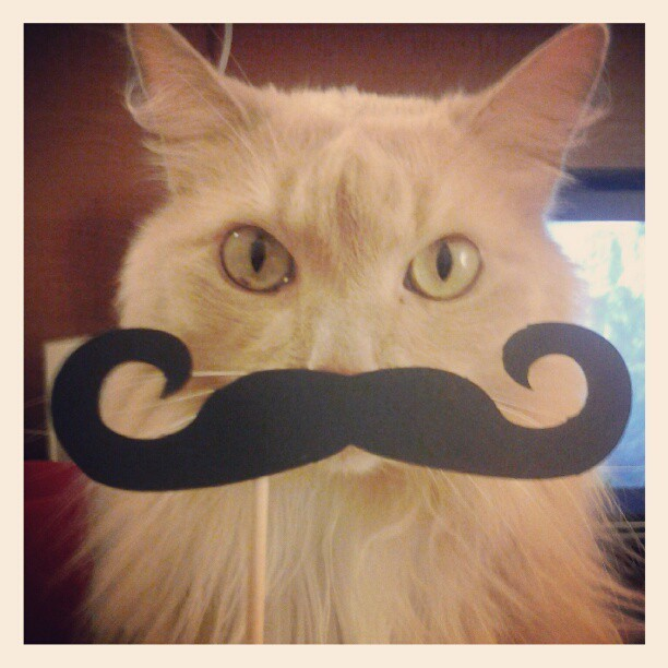 Monsieur William #mustache #moustache #onastick #cat #french #whyareyoudoingthistome