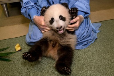 theanimalblog:  Giant panda cub Xiao Liwu has his weekly medical exam at the San Diego Zoo.  Picture: San Diego Zoo, Ken Bohn/AP