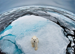 -olly:  Polar Bear at the Top of the World (Source)