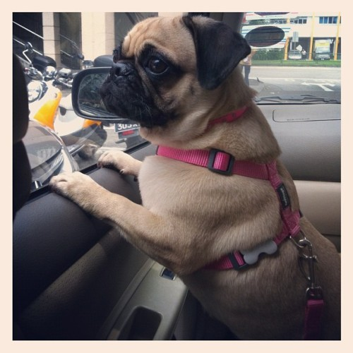 On a car ride after injection being a v gd girl #luffy #pug #pugstagram #dog #car