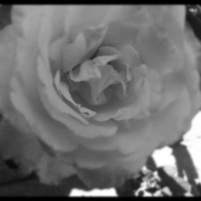 EarlierToday (: #love #roses #nature #beauty