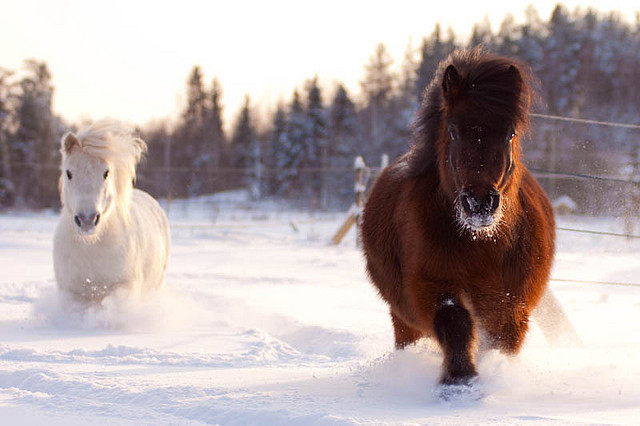 Shetland Fun in Snow by Rozpravka on Flickr.