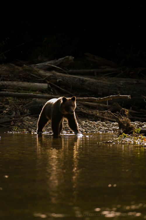 getawildlife:  Grizzly Bear - Rim-Lit Reflection (by Old-Man-George)