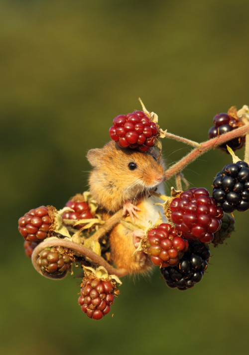 somelaceandpaperflowers:  getawildlife:  Harvest Mouse on Berries (by Daniel Trim)  i love how his little tail curls so cute
