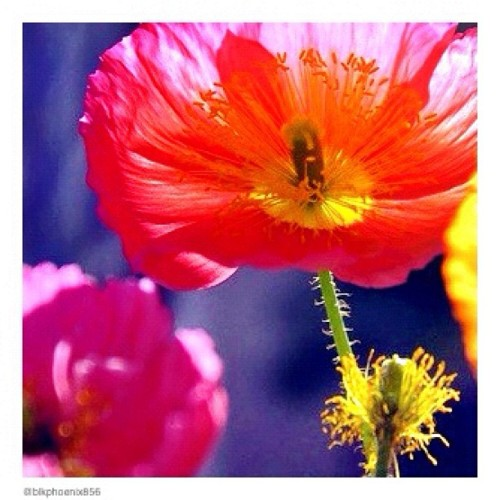 Brightly colored #poppies #illuminated by the #morning #sun #instagram  #instadaily #instaglobal #pink #flowers #macro #upclose