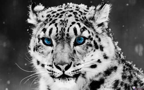 White Tiger, Blue Eyes