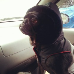 Ready to go for a ride. #pugsofinstagram #pugs #pug #vest #datface #adorable #Vader #starwarspets