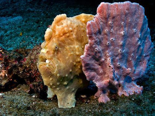 Frogfish: The Ocean's Disguise Artists Biomimicry is one of evolution's most mind-blowing avenues of adaptation. It's one thing to adapt thanks to maxing out the biological limits of speed, or selecting for the ever-longer, better-feeding necks of giraffes or the ability to use a new, untapped food source at the bottom of the ocean. But to become another life form? It shows us that natural selection is not only a powerful force, but also a delicate one, fine-tuning things like colors and patterns like only the finest human artists can. Above are three examples of frogfish biomimicry, a family of fish that separately mimics algae, sponges and even sea urchins. They evolved these costumes as a way to avoid predators and become better predators themselves. Check out an in-depth post about frogfish biomimicry at Why Evolution is True (wait until you see them eat!), and if you want more here's a whole website (Comic Sans warning!) dedicated to frogfish camo. These guys even give Peeta Mellark a run for his money: