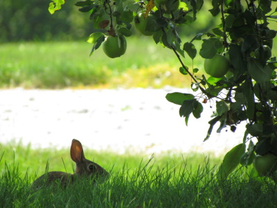 July 2012. Eastern cottontail rabbit under an apple tree. Lincoln, Nebraska, USA.