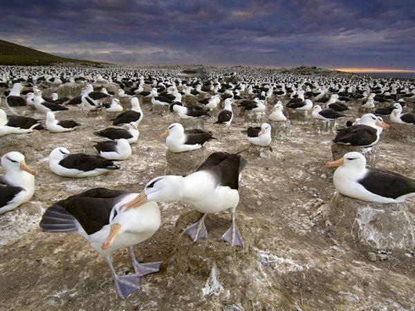 "oceanportal:  From Nat Geo: ""Black-browed albatrosses nest by the thousands in the remote Falkland Islands. With few crowds or restrictions, this archipelago comprising 778 islands and islets 300 miles (483 kilometers) off the east coast of Patagonia provide an intimate wildlife experience that offers an alternative to that of the more famous Galápagos."" theworldwelivein: Photo by Frans Lanting, National Geo."