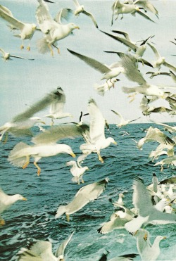 vintagenatgeographic:  Seagulls above the waters of the Minches Channel, Scotland National Geographic | May 1970