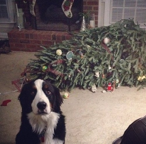 Dog Feels Bad for Knocking Over Christmas Tree  I ruined Christmas. Feel free to spray me with water. I deserve it.