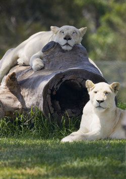 Occasionally you will see actual lionesses on this page. Especially since I don't have a whole lot of memes being submitted. That and that log made me think of boobies so here you go, now its relevant.