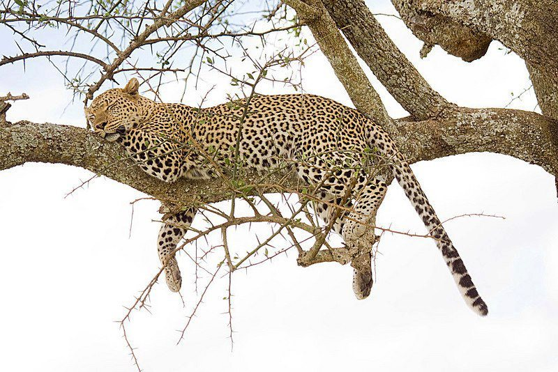 funnywildlife:  funnywildlife: Leopard Tree Siesta, Serengeti NP, Tanzania by Kilidove Tours & Safaris https://www.facebook.com/pages/Kilidove-Tours-and-Safaris-Ltd/121889517331