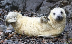 mabelmoments:  This seal pup looks like it is waving to the camera. The friendly youngster was snapped by photographer Drew Buckley in Martin's Haven, Pembrokeshire. Hauled out onto the pebbly beach at the small Welsh cove, the white fluffy pup lifted up a flipper and gave Drew a cheeky wave. Picture: Drew Buckley / Rex Features oh, hai, everyone ! :)