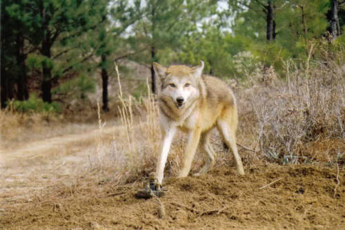 Blond-phase coyote. (via Trapperman.com)