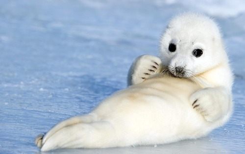 treehugger:  For your morning awwwws. (via Photo of the Day: Baby Harp Seal Cuteness : TreeHugger)  This does make Tuesday a little better.