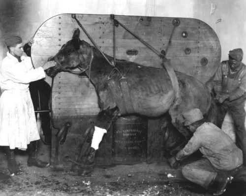 "iheartvmt:  ""World War I photograph of an injured horse in the process of being secured to the portable operating table, ""The Simplicity Equine,"" which was being used by the US Army Signal Corps. WWI was the last major war in which horses were utilized. Although their scale of recruitment was relatively small, they had to endure the more advanced fire power deployed in the war. Advances in medicine and surgery resulted in more available treatment options."""