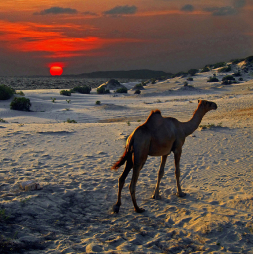hijab-it-s-easy:     Somali camel retreats to the dunes as a bright orange equator sun sets over the Indian Ocean off Kenya's northern Swahili Coast.