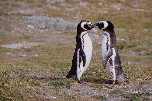 thepenguinblog:  A pair of Magellanic penguins have remained faithful to each other for 16 years, according to researchers who have been monitoring the birds and have shown they can travel up to 10,000miles a year in their search for food and companionship.