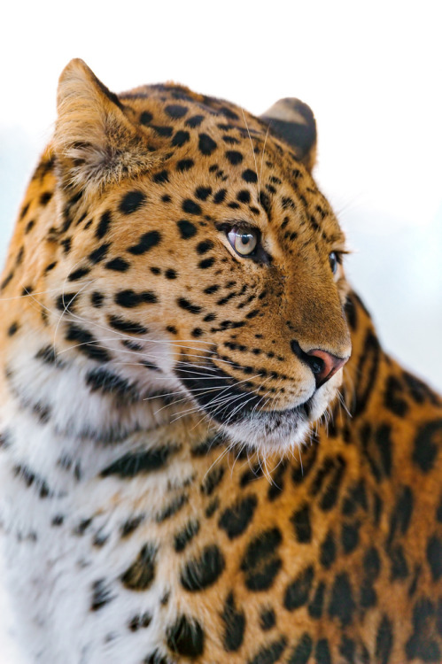 getawildlife:  Leopard looking on the side (by Tambako the Jaguar)