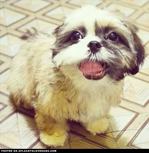 aplacetolovedogs:  My newly groomed 3-month-old cute Shih Tzu named Chef ♥ Submitted by Francine C Original Article