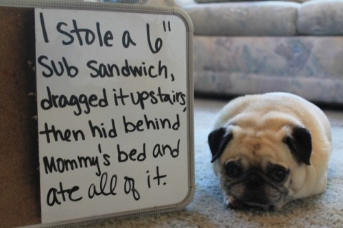 dogshaming:  I steal your sandwiches  Genny (pronounced Jenny) ate an entire 6″ sub sandwich that she stole from her brother while he…  View Post shared via WordPress.com