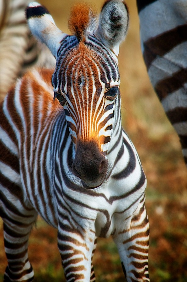 "loveforearth:  ""Baby Stripes"" by Michael Galam  So fricking cute😍"