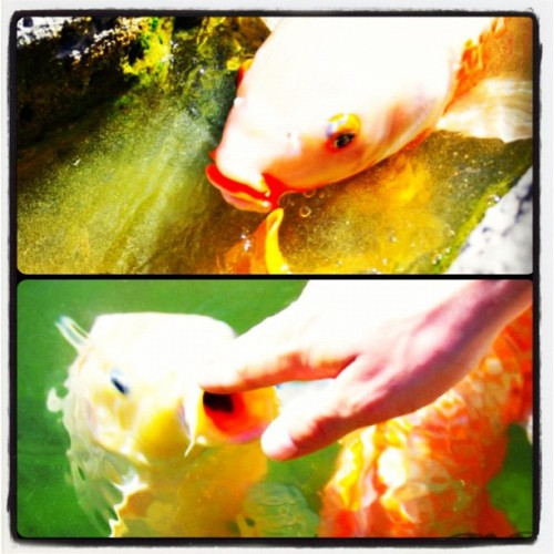 #JapaneseFriendshipGarden#Koi #BYPhotography #fish #pond #outdoor #photography #nikon