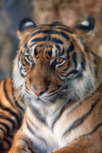 Manis ♀ - Sumatran Tiger by Sumatra-Tiger on Flickr.