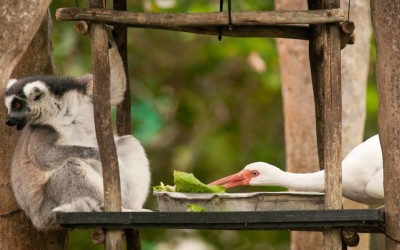 allcreatures:  A white ibis steals a ring-tailed lemur's food at Zoo Miami, Florida. Picture: Armando Sierra/Solent News & Photo Agency