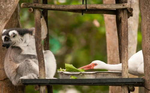 "allcreatures:  A white ibis steals a ring-tailed lemur's food at Zoo Miami, Florida. Picture: Armando Sierra/Solent News & Photo Agency  ""HE'S DOING IT AGAIN!"""