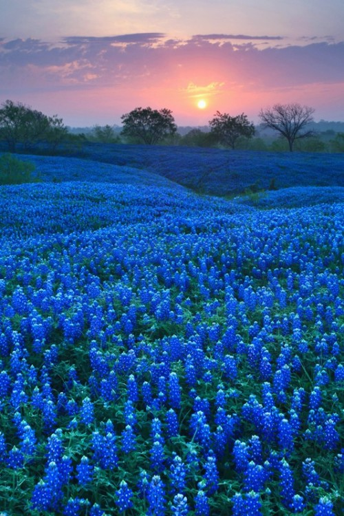 Bluebonnet Carpet - Ellis County, Texas via pinterest