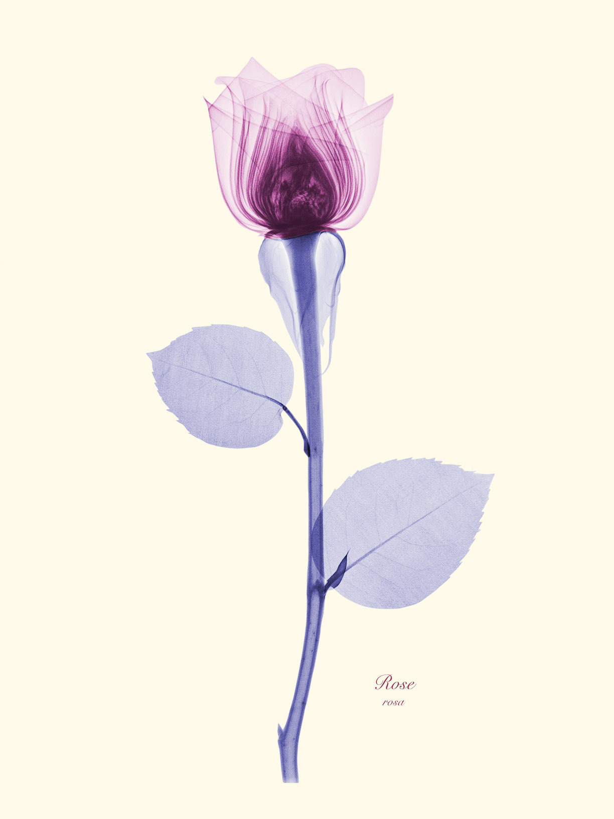 The Floral X-rays of Brendan Fitzpatrick are just breathtaking. Check out more at the link. Nature is full of numerical and geometric patterns, some we can see from the outside and some require that we take on a new perspective (just look at how those rose petals are stacked!!). Some of those patterns are probably coincidental, but some of them are likely a result of nature's inner workings. Want to explore more? Take a ride with Vi Hart through the mathematical patterns of pinecones, pineapples and flowers. And then discover the multitudes of mathematical patterns in nature with Cristóbal Vila's amazing video Nature by Numbers. What do you think? Are these patterns coincidental or are they proof of some inherent design rules in biology and nature?