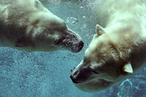 magicalnaturetour:  Polar Bears by Mark Philpott on Flickr.