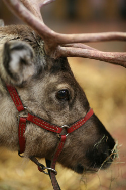petitpoulailler:  magicalnaturetour: Reindeer by Mark Philpott