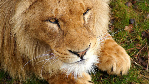 Lions face shrinking savannahs in AfricaUsing Google Earth, scientists were able to pinpoint where humans and lions were crossing paths as the savannah becomes more developed.