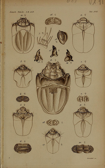 De metamorphosi eleutheratorum observationes by BioDivLibrary on Flickr. Kjøbenhavn :Thieles Bogtrykkeri,1861-72..biodiversitylibrary.org/page/39691609